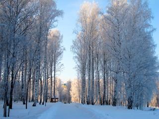 Ветви берез покрыты снегом
