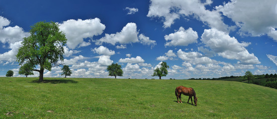 Horse in a field panorama