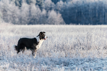 Border Collie stands on frost