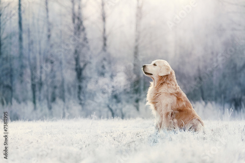 Foto Spatwand Hond Golden Retriever sits in frost on winter day