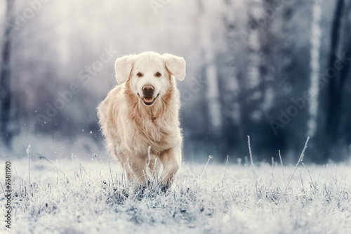 Leinwandbild Motiv Golden Retriever is running on frost
