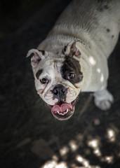 Young English bulldog looking up