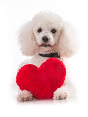 Lover valentine puppy dog with a red heart isolated.
