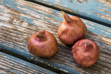Gladiola Bulbs