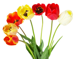 colored bouquet of tulips isolated on the white background
