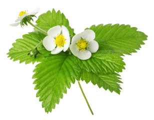strawberry flowers and leaves isolated on the white background