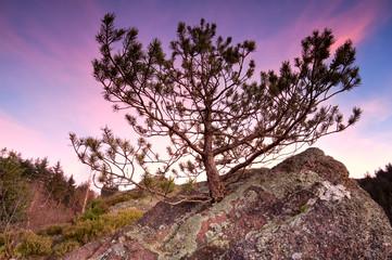 little pine tree on stone rock