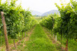 vineyard - 75817322