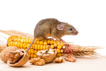 House mouse (Mus musculus) with walnut and corn