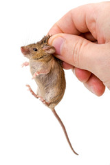 Captured house mouse (Mus musculus)