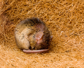 House mouse (Mus musculus) sleeping