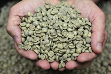 Green coffee beans in farmer's hand
