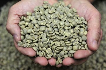 Green coffee beans in farmer's hand