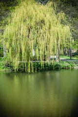 Weeping willow on the other side of the lake