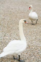 Swans on pebble