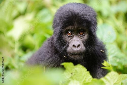 Deurstickers Afrika Baby gorilla