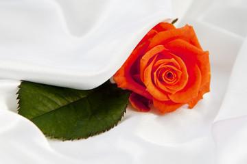 rose sur tissus satiné blanc