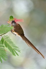 Speckled mousebird eating