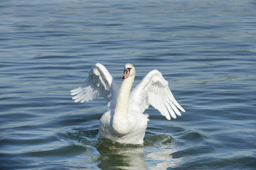 White Swan in the River Water