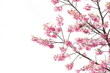 Sakura Flower or Cherry Blossom with Beautiful Background