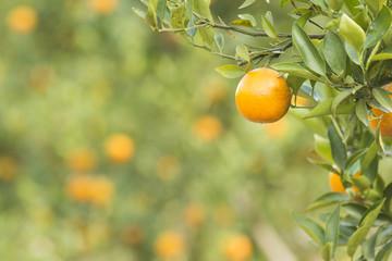 Orange Field. Close up on orange with blur background