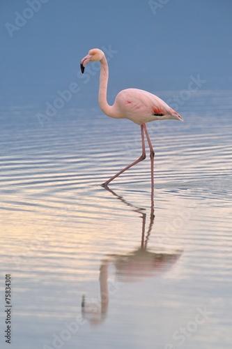 Fotobehang Flamingo Grater flamingo walking