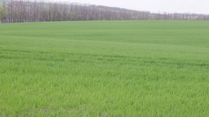 boundless winter wheat field on a background of forest belt