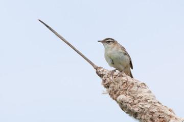 Sedge Warbler (Acrocephalus schoenobaenus).