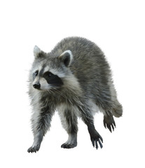 Walking Raccoon