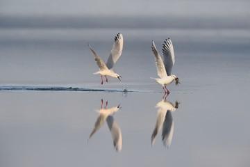 Caccia e pesca fra gabbiani rosei