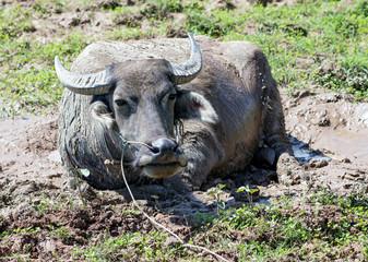buffalo lying in the mud