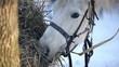 Obrazy na płótnie, fototapety, zdjęcia, fotoobrazy drukowane : Working horse eating hay in the winter forest