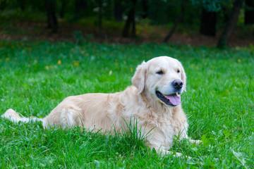 Dog of breed a golden retriever lies on a green grass