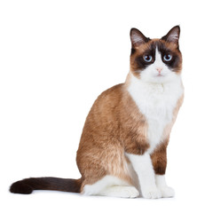 Snowshoe thai cat, sitting and looking at the camera