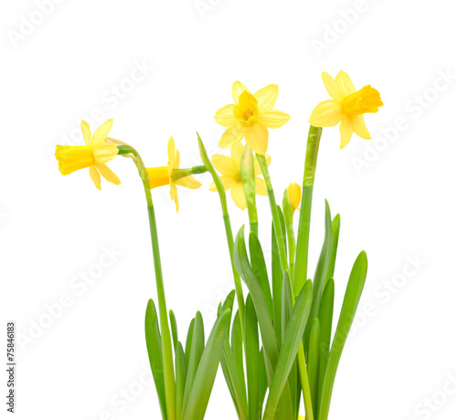 Fotobehang Narcis Jonquil isolated on white.
