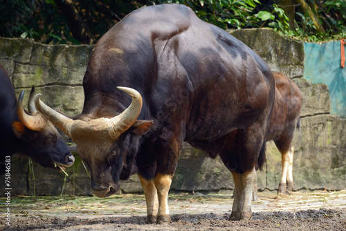 Deurstickers Bison Family of gaur