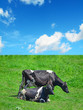 close up of black and white cows in a green field