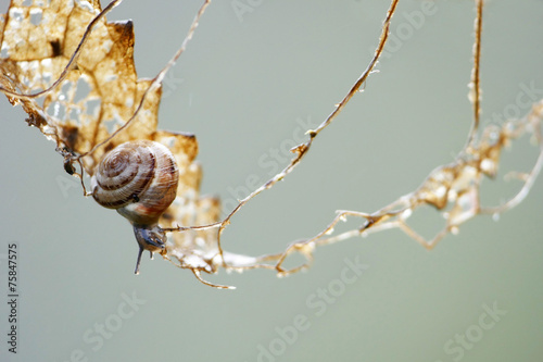small gastropod on a climbing tour in a dry leaf - 75847575