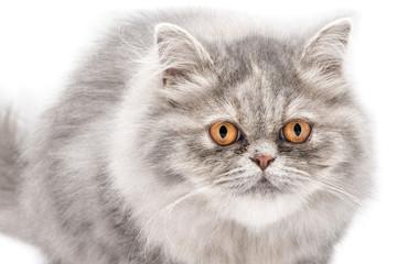 Gatto persiano isolato su sfondo bianco