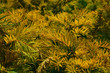Obrazy na płótnie, fototapety, zdjęcia, fotoobrazy drukowane : Taxus baccata Aurea Decora - spring color