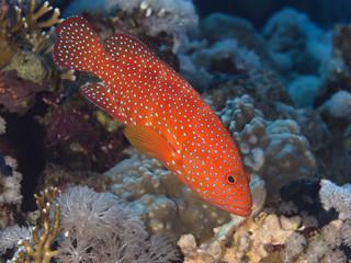 Reef fish Coral hind