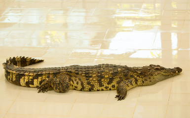 Crocodile farm in Phuket, Thailand. Dangerous alligator