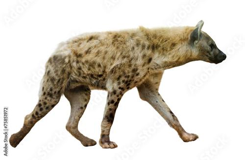Canvas Hyena Spotted hyena on white