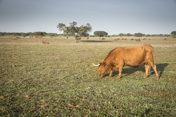 brown cows grazing in the countryside