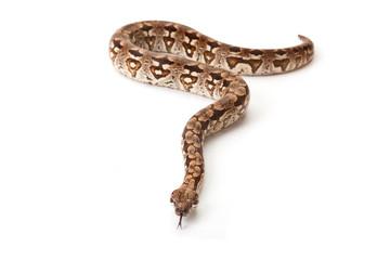 Snake on white background