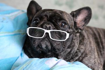Bulldog marrant avec lunettes