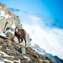 Alpine chamois in Gran Paradiso National Park, Italy