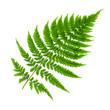 Echte Farne Pflanze