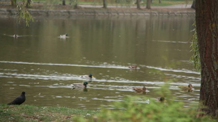 wild ducks swimming on the lake in the park
