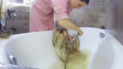 Young woman washing shih-tzu dog. Fast motion.